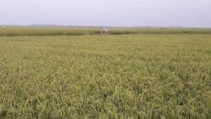 করোনা: শ্রমিক সংকট, মাঠে পড়ে আছে পাকা ধান