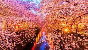জাপানের ঐতিহ্যবাহী চেরি ফুল দেখার উৎসব এবার অনলাইনে