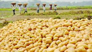 TCB to sell potato at Tk. 25 per kilogram