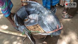জেলের জালে ৪২ কেজি ওজনের বাঘাইড়
