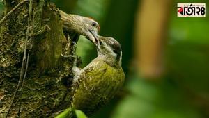 দাগিগলা-কাঠঠোকরাই গাছেদের বড় উপকারী পাখি