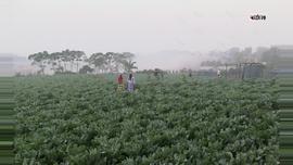 শীতকালীন সবজি ফুলকপি, বিক্রির উদ্দেশ্যে  জমি থেকে সংগ্রহ করছে কৃষকেরা। ছবি : সুমন শেখ।