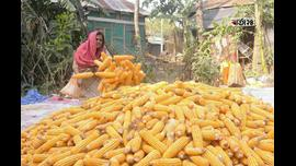 কুমিল্লায় এবার ভুট্টা চাষে বাম্পার ফলন পেয়েছে কৃষকেরা। ছবিটি দাউদকান্দির মারুকা গ্রাম থেকে তুলেছেন মেহেদী হাসান।
