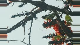 গাছে গাছে ফুটে আছে পলাশ ফুল। বসন্তজুড়েই পলাশের মুগ্ধতায় গাছে উড়ে আসে বিভিন্ন ধরনের পাখি। ছবিটি কেন্দ্রীয় শহীদ মিনার থেকে তুলেছেন সুমন শেখ।