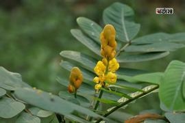 সেন্না আলতা ( senna alata ) একটি গুরুত্বপূর্ণ ঔষধি গাছ। এটি বিভিন্ন জায়গায় মোমবাতি ফুল হিসাবেও পরিচিত। ছবিটি সোহরাওয়ার্দী উদ্যান থেকে তুলেছেন সুমন শেখ।
