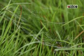 মাকড়সার জালে জমে থাকা শিশিরকণা। ছবি : সুমন শেখ