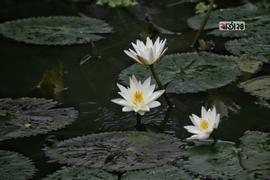 সাদা শাপলা ফুলের ছবিটি রুপগঞ্জ থানার মিঞা বাড়ির খালপাড় এলাকা থেকে তোলা। ছবি : সুমন শেখ