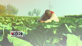 রংপুরে ৩৮ হাজার ২৭১ হেক্টর জমিতে সবজি আবাদ