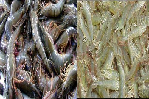 'ভেনামি'তে আটকে যাচ্ছে চিংড়ি রফতানি