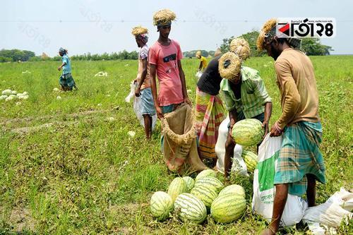 তরমুজের বাম্পার ফলনে খুশি পটুয়াখালীর কৃষক