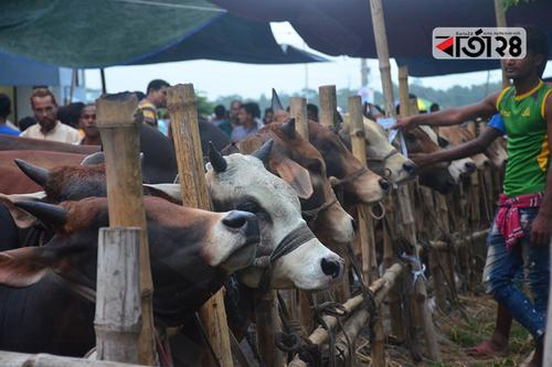 কোরবানি: স্রষ্টার প্রতি নিঃশর্ত আনুগত্য