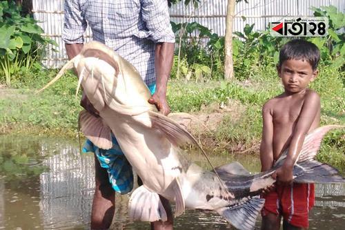 মহানন্দায় ধরা পড়ল ১ মণ ওজনের বাঘাইড়