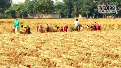 চাঁপাইনবাবগঞ্জে আমনের ফলন ভালো হলেও দাম নিয়ে শঙ্কায় কৃষক