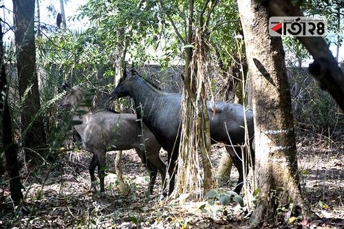 সঙ্গী পেলো রামসাগর জাতীয় উদ্যানের নারী নীলগাই
