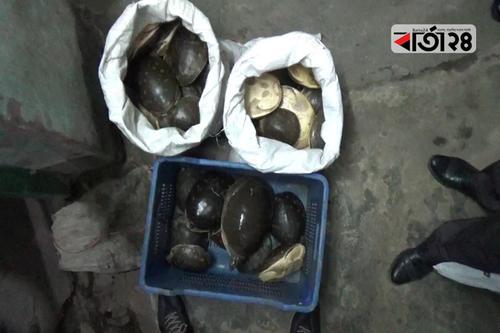 পটুয়াখালীতে বিলুপ্ত প্রজাতির ৬৭টি কাছিম উদ্ধার