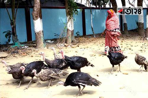 মৌলভীবাজারে বাড়ছে টার্কি খামার