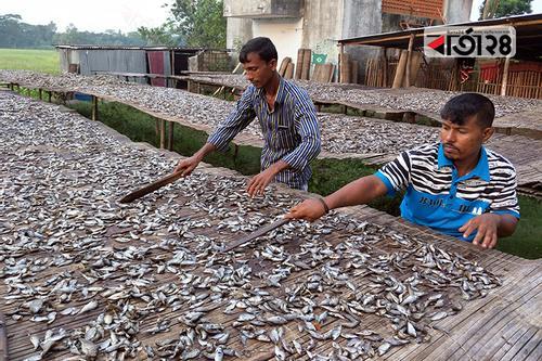 কোটালীপাড়ায় শুঁটকি তৈরিতে স্বাবলম্বী শতাধিক পরিবার