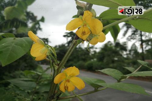 সৌন্দর্য বর্ধনে ঔষধি গাছ 'দাদমর্দন'