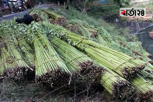 পাট নিয়ে চরম বিপাকে রাজবাড়ীর হাজারো কৃষক