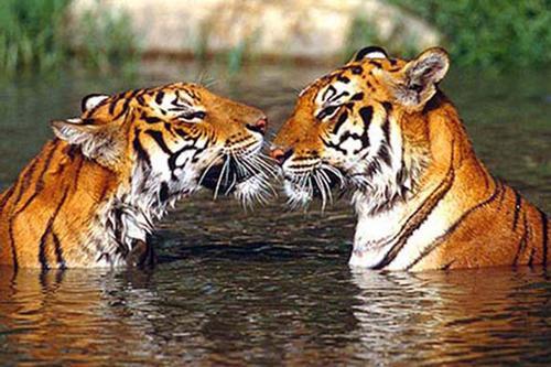 ভারতে ৩ হাজার, সুন্দরবনে ১২টি বেড়ে ৮৮ বাঘ