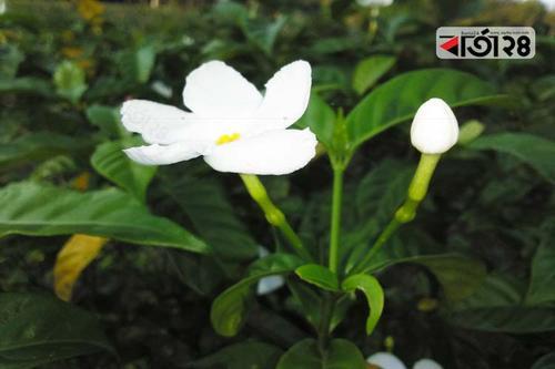 নির্জন পথে শুভ্রতা ছড়ায় 'জংলি টগর'