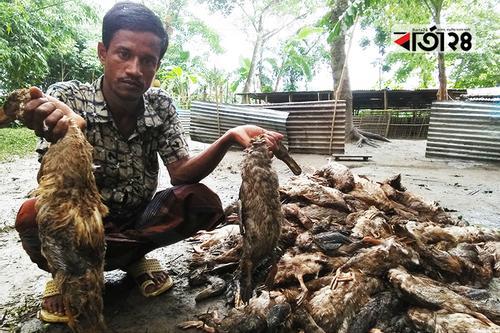 প্লেগ রোগে মরল ৩২০০ হাঁস, খামারির সর্বনাশ