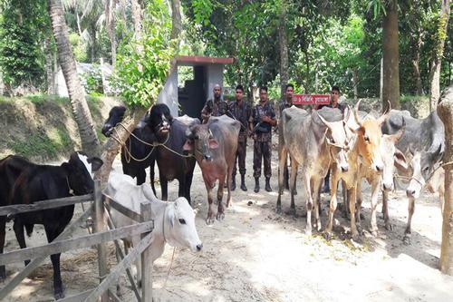 চুয়াডাঙ্গায় চোরাইপথে আসছে ভারতীয় গরু-মহিষ