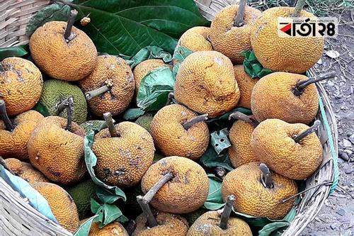 মৌলভীবাজারে মিলছে বিলুপ্তপ্রায় 'চাম কাঁঠাল'