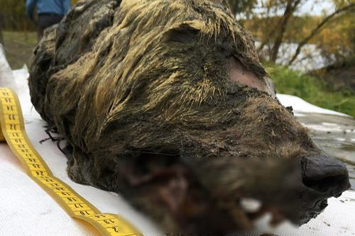 সাইবেরিয়ায় ৪০ হাজার বছর আগের নেকড়ের মাথা