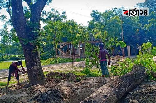 সরকারি গাছ কাটছে এমডি ফরিদ উদ্দিন কনস্ট্রাকশন