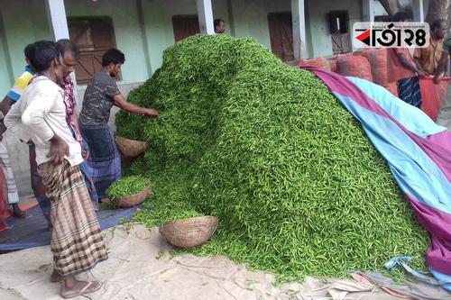 মরিচের বাম্পার ফলন কৃষকের গলার কাঁটা