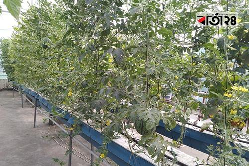পটুয়াখালীতে জনপ্রিয় হচ্ছে মাটিবিহীন চাষাবাদ