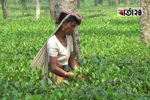 Tea garden worker is still deprived of their basic needs