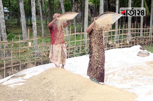 সুনামগঞ্জে বোরো ধান নিয়ে ব্যস্ত কৃষক-কৃষাণী