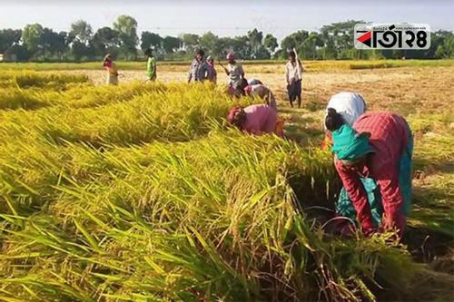 আসছে ফণী, দিশেহারা লালমনিরহাটের কৃষকরা