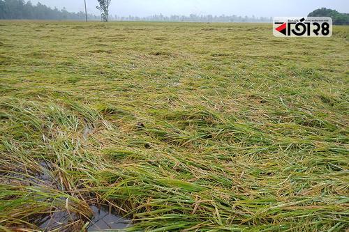 সিরাজগঞ্জে ব্যাপক বৃষ্টিপাত: নষ্ট হচ্ছে বোরো ধান