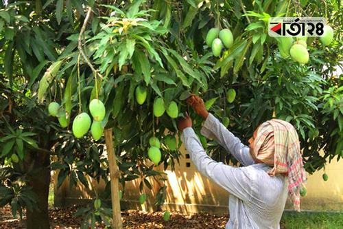 Mango plucking festival begins today in Rajshahi