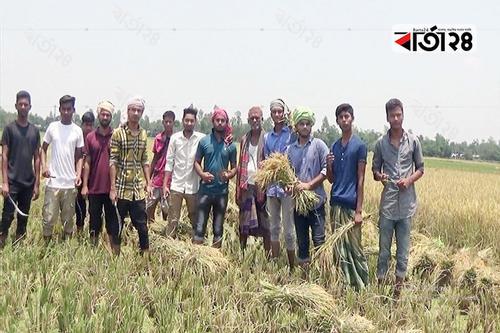 টাঙ্গাইলে ক্ষেতে আগুন দেয়া কৃষকের ধান কেটে দিল শিক্ষার্থীরা
