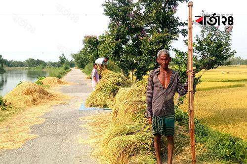 তিস্তা ব্যারেজ সেচ প্রকল্পে বোরোর বাম্পার ফলন