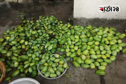 চাঁপাইনবাবগঞ্জে কালবৈশাখী ঝড়ে আমের ব্যাপক ক্ষতি