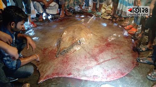 ২৫০ কেজি ওজনের হাউস মাছ দেখতে ভিড়