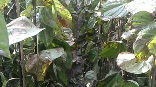বরিশালে মাদকসেবীর হিংস্রতায় পানের বরজ নষ্ট