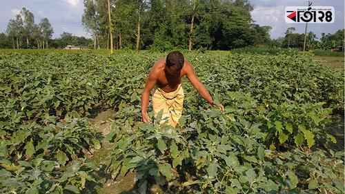 ফুলবাড়ীতে শীতকালীন আগাম সবজি চাষে ব্যস্ত কৃষক