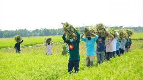 ময়মনসিংহে ধান কেটে কৃষকের বাড়ি পৌঁছে দিল ছাত্রলীগ