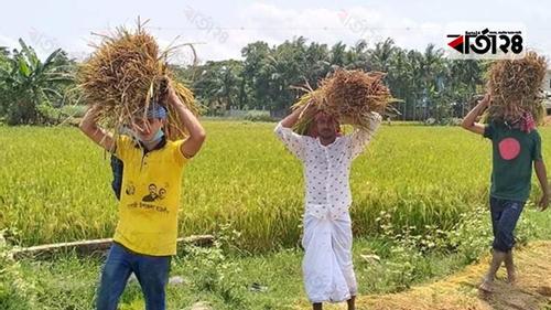 ছাত্রলীগ ধান কাটায় দুশ্চিন্তামুক্ত ফেনীর কৃষক