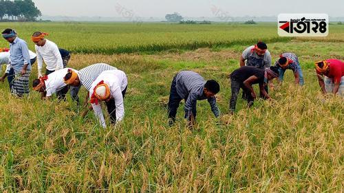 গোপালগঞ্জে কৃষকের ধান কেটে দিচ্ছে ছাত্রলীগ