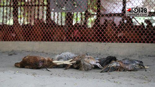পটুয়াখালীতে খাদ্য সংকটে মরছে মুরগি, খামারিদের পথে বসার উপক্রম