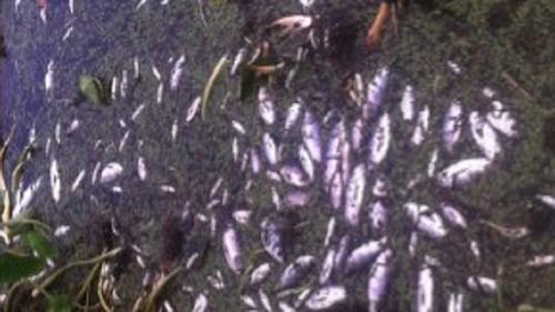বাঁওড়ের পানি দূষিত হয়ে মরল ২৫ লাখ টাকার মাছ!