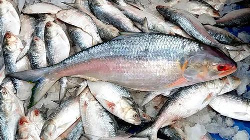 শার্শা সীমান্তে সাড়ে ১১ মণ ইলিশ মাছ আটক