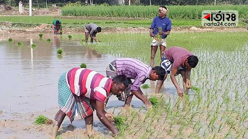 বোরো আবাদে ব্যস্ত চাঁপাইনবাবগঞ্জের কৃষকরা